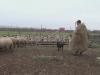 turma ciobani