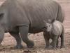 pui de rinocer