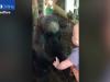cimpanzeu, bebelus