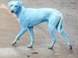 Fenomen îngrijorător! De ce au acești caini maidanezi blana albastră