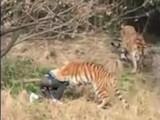 barbat atacat de tigri