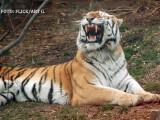 tigru de Amur