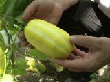 legume ciudate