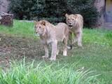 doi-lei-au-scapat-din-perimetrul-lor-la-gradina-zoologica-din-leipzig-ce-a-urmat-video