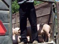 Barbatii au vrut sa vanda porcii fara acte