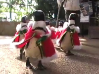 defilarea pinguinilor