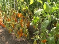 Cultivatori rosii