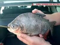 Piranha cu burta rosie