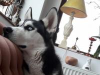 caine husky furat