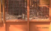 Una dintre cele sase veverite pe care Primaria Bistrita le-a cumparat cu bani publici si le-a expus in parcul municipal intr-o voliera metalica.