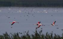 Flamingo in Romania - Florin Stavarache
