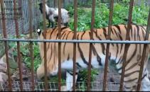 tigru capra rusia