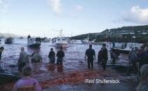 Baia de sange din Insulele Feroe, dupa uciderea balenelor