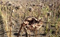 Mai multe hectare de culturi agricole din judetul Botosani au fost afectate de seceta pedologica din acest an