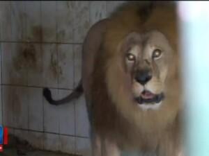 Leii lui Nutu Camataru, mai fericiti la ZOO decat printre interlopi. Felinele se pregatesc pentru un botez