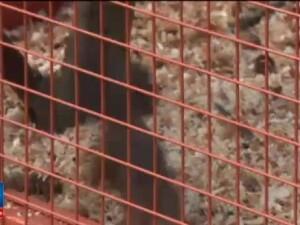 Cusca de veverite de 17.000 de lei din Bistrita este ilegala. Primaria risca o amenda uriasa, plus pierderea animalelor