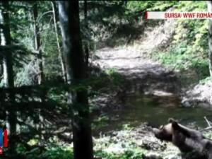 Cati ursi are Romania? Motivul pentru care autoritatile au trecut in listele oficiale un numar mai mare decat cel real