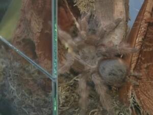 Cel mai mare paianjen din lume a ajuns si in Romania, la Muzeul Antipa.