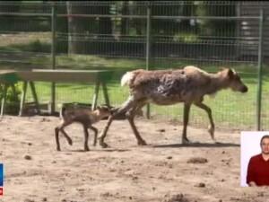 Primii pui de ren nascuti in captivitate, la Gradina Zoologica din Pitesti. Copiii pot propune nume, pana pe 1 iunie