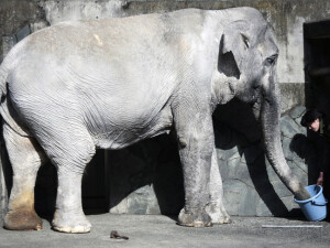 elefantul Hanako