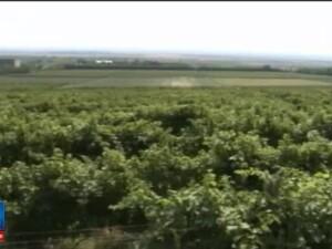 Vinurile romanesti, mai scumpe cu 10. Localnicii care culegeau strugurii au preferat ajutoarele sociale in locul muncii