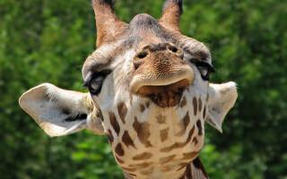 Girafa de la Zoo Praga