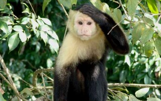 Maimuta capucin