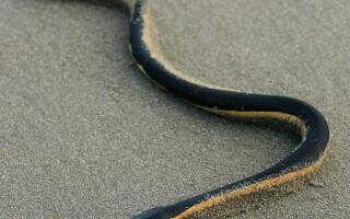 sarpe veninos - Shutterstock