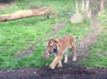 Imagini dementiale la Gradina Zoologica! Au pornit camera cand au vazut ca se apropia tigrul! Ce s-a intampla imediat dupa