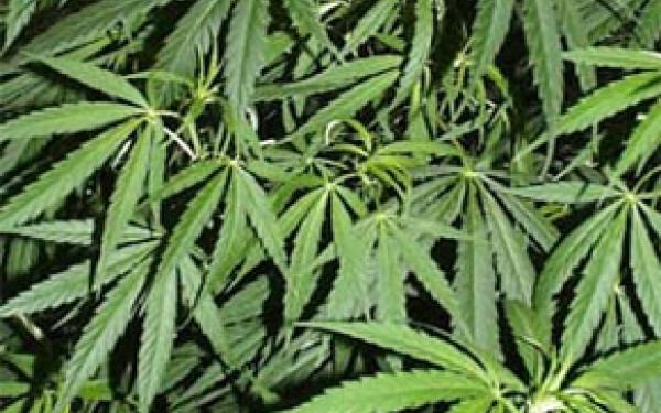 marijuana-iarba