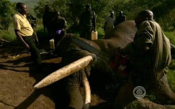 Gestul disperat al autoritatilor din Kenya pentru a salva viata elefantilor 61226773