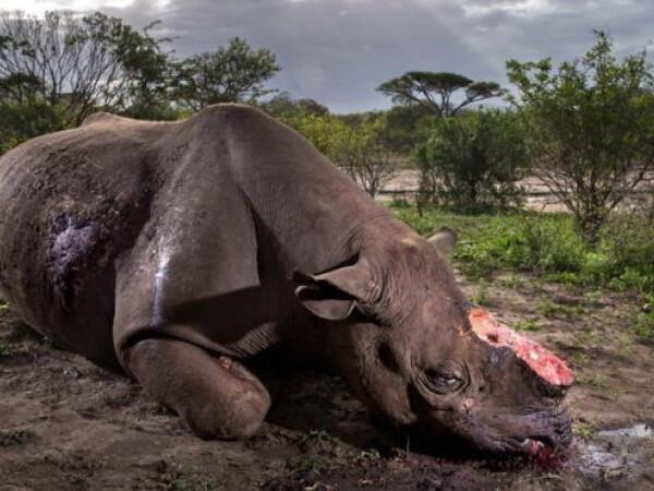 rinocer, Brent Stirton