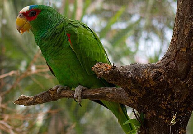 Papagal cu pata alba in frunte
