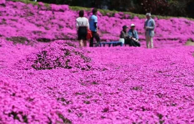 flori japoneze