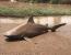 rechin taur