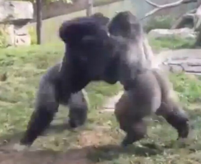 bataie gorile
