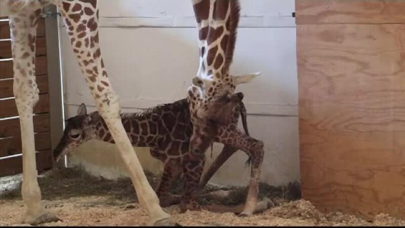 1.250.000 de oameni au urmarit live, pe Facebook, nasterea unui pui de girafa. Concurs online pentru gasirea unui nume