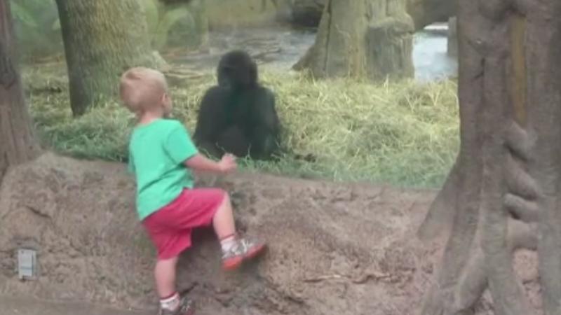 Joc adorabil intre un baietel si un pui de gorila, la o gradina zoologica din Statele Unite. Cum s-au distrat cei doi. VIDEO