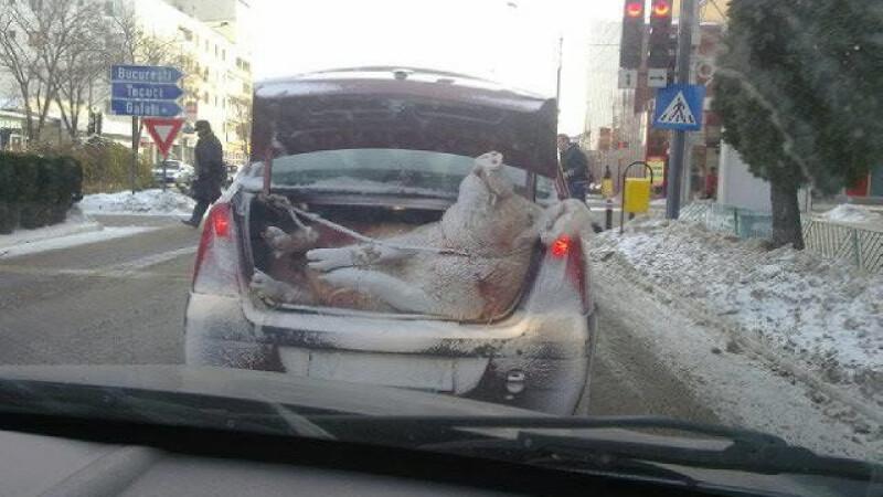 Cum e plimbat porcul de Craciun pe strazile din Barlad. Imaginea a devenit viral pe Facebook