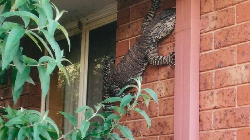 Socul unui australian care a dat peste o soparla uriasa, catarata pe casa lui.
