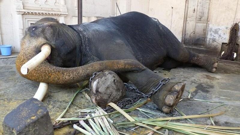 Salvat de Craciun dupa o viata in lanturi. Un elefant tinut captiv 20 de ani intr-un templu indian a fost eliberat