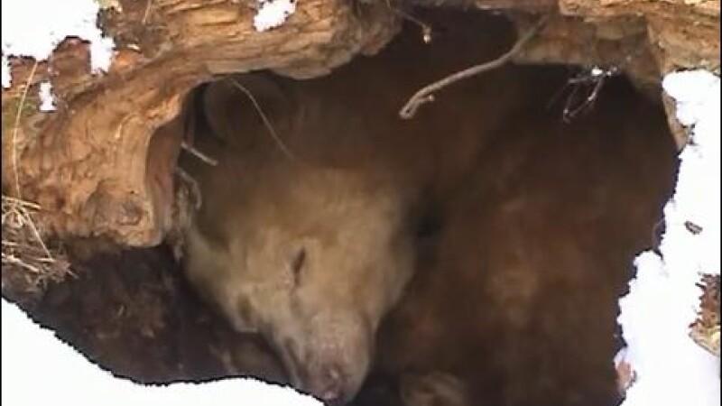 Uite cum hiberneaza ursul blond Apollo!