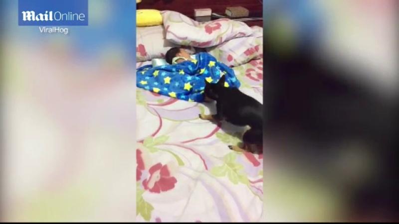 Catelus, filmat in timp ce inveleste bebelusul care dormea in mijlocul patului.