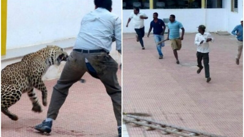 Panica intr-o scoala din India. Un leopard care a patruns in interior a ranit sase persoane. VIDEO
