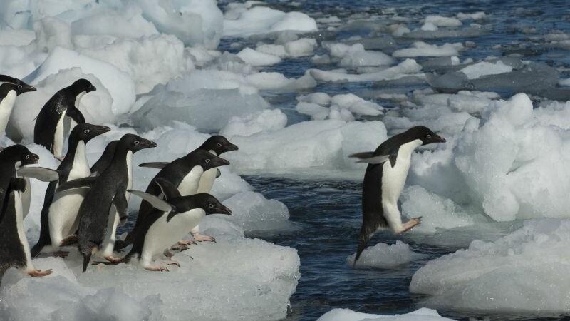 150.000 de pinguini au murit dupa ce un iceberg de marimea Romei i-a obligat sa mearga 120km dupa hrana