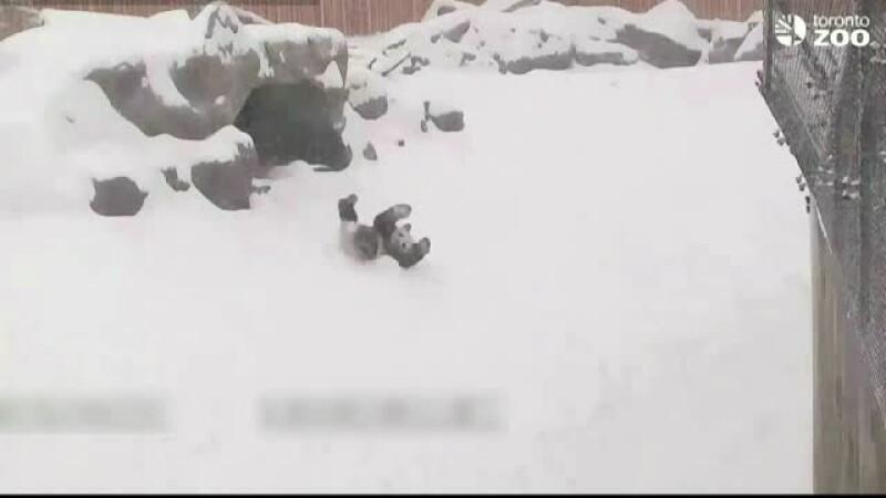 Bucuria in forma pura, asa cum e ea exprimata de un urs panda care a dat de zapada