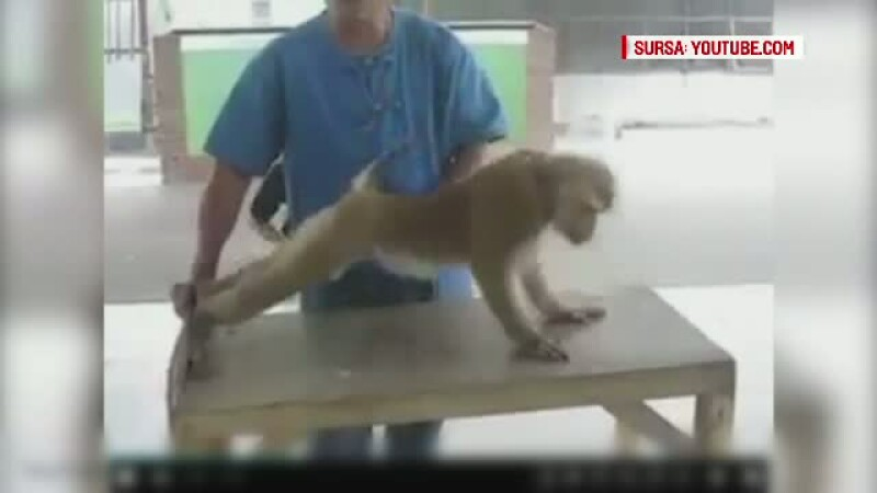 O maimuta care face flotari si abdomene a uimit lumea intreaga. Imaginile au ajuns pe internet