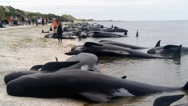Aproape 700 de balene care au esuat pe mal, in Noua Zeelanda, risca sa explodeze. Cauza mortii lor, necunoscuta