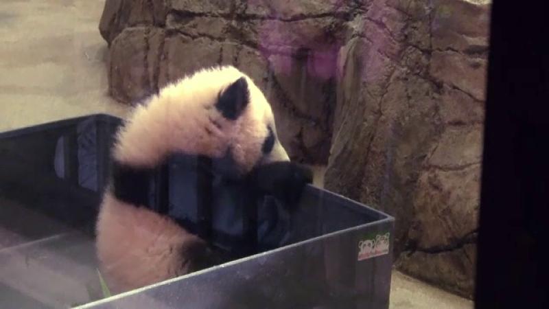 Sute de oameni au stat la coada la zoo ca sa vada un pui de urs panda. Cum a fost botezat de prima doamna a Americii