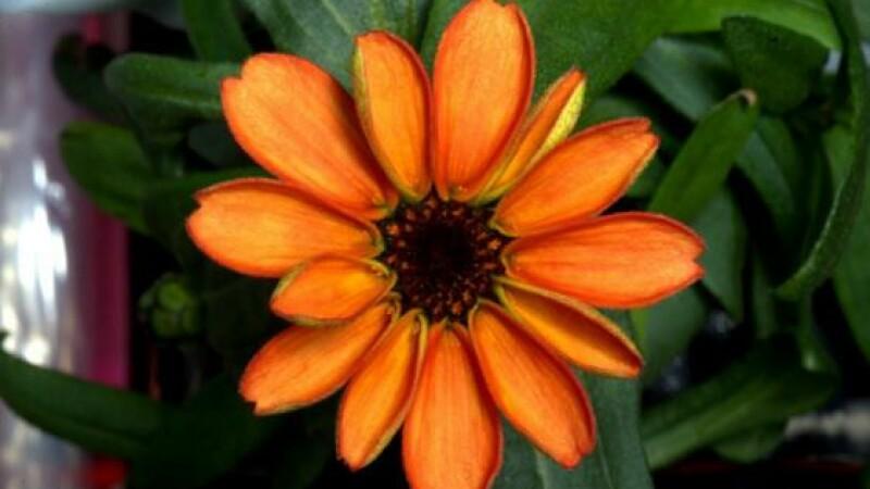 FOTO A inflorit prima planta cultivata la bordul Statiei Spatiale Internationale